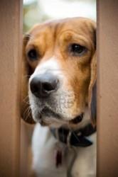 3616943-un-giovane-cane-beagle-sguardi-attraverso-la-porta-con-un-triste-sguardo-sul-suo-volto-ha-l-39-ansia